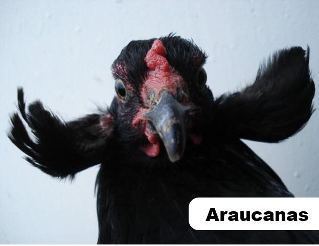 Araucanas Tavuk Irkı