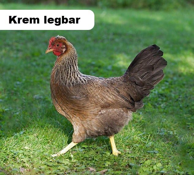 Krem legbar Tavuk Irkı
